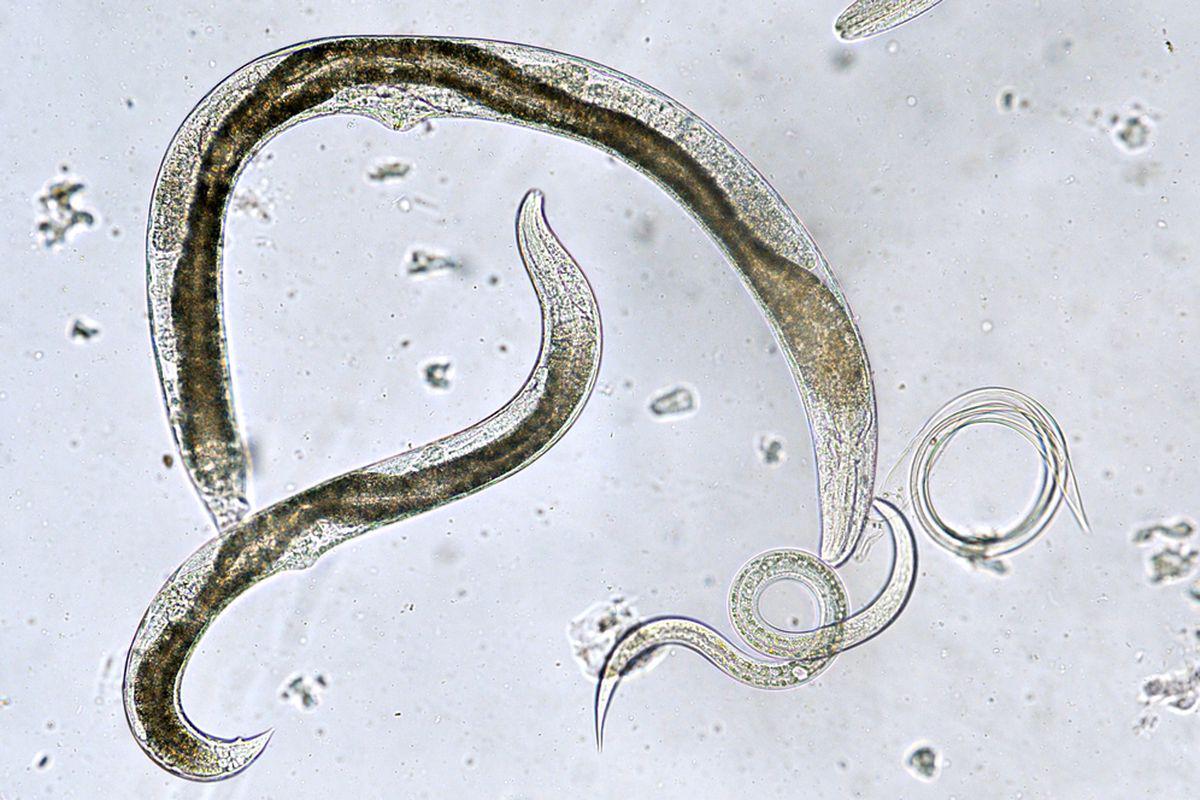 tip viermi în scaun bacterii fermentative