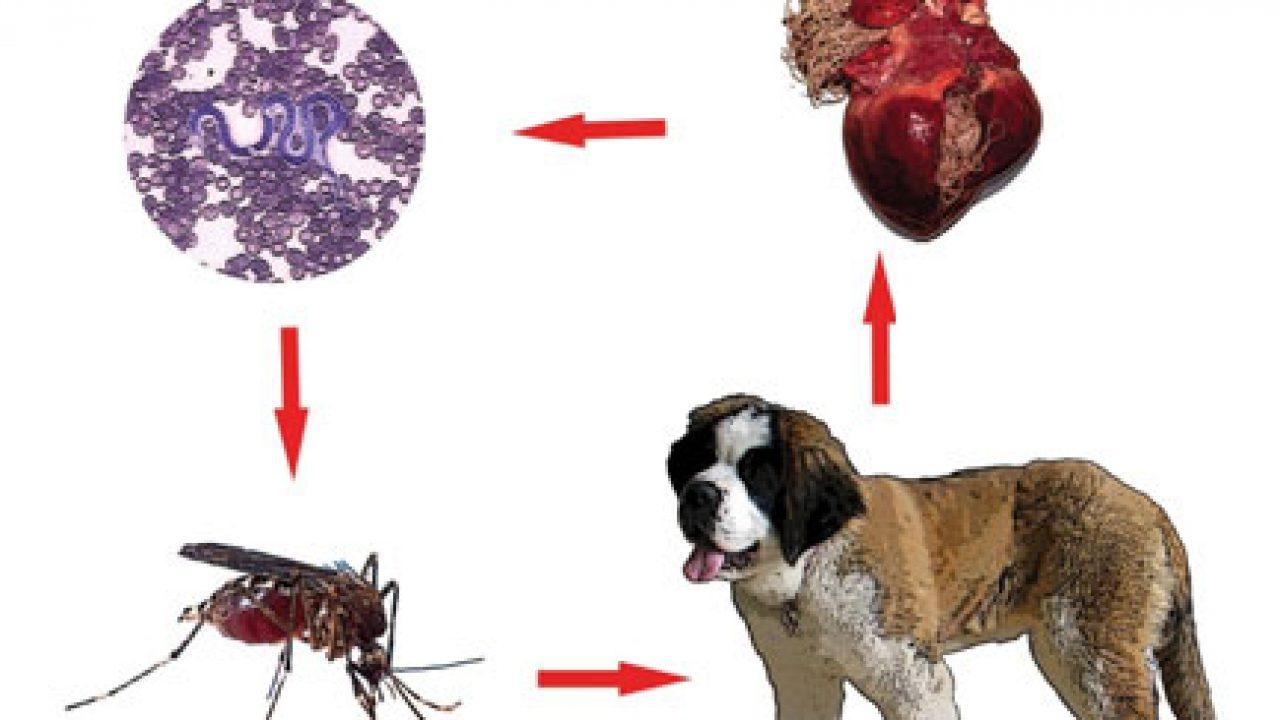 simptome de vierme la om