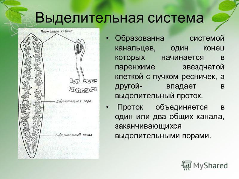cuticula densă în viermele rotund)