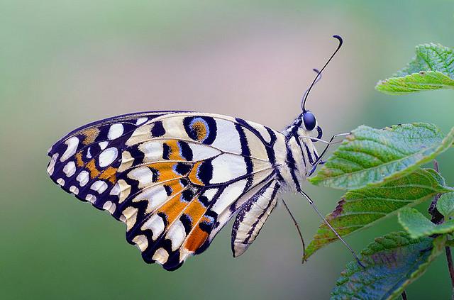 ciclul de viață al fluturilor și lanțurilor rabie abdominală