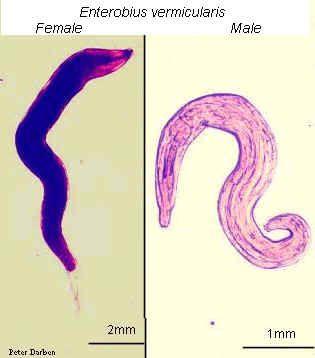 cum se face tratamentul viermilor de bovine parazitii pabibabum