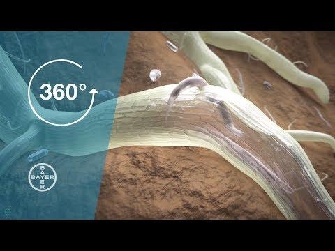 vierme gri a primit tratamentul viermilor pentru oameni
