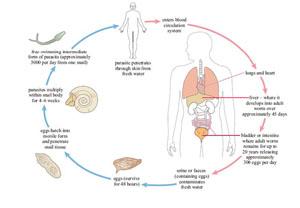 schistosomiasis reservoir sulinet fergek