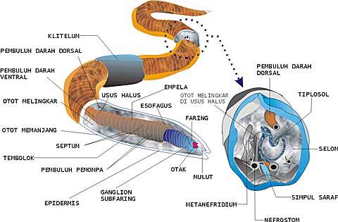mai multe nemathelminthes pada filum