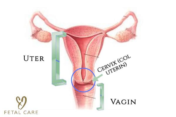 negi genitale în intestin