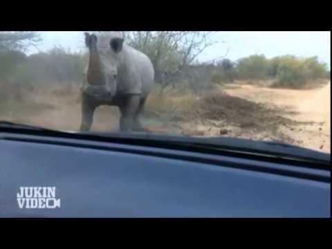 Detectarea rinocerului, 10 lucruri fascinante pe care trebuie să le ştii despre rinoceri