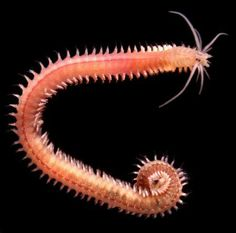 phylum platyhelminthes nematode și annelida
