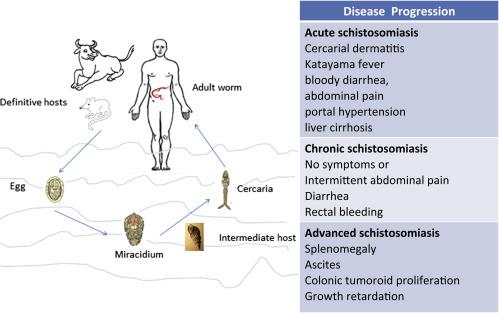 schistosomiasis reservoir panglica largă pe scurt