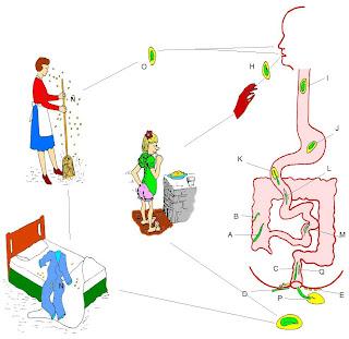 ciclo de oxiuros costul tratamentului de helmint