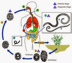 ciclo de oxiuros gastric cancer magic trial