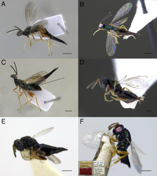 paraziti himenoptera