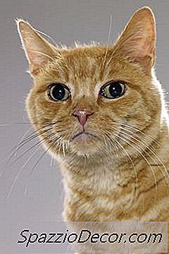 virus papiloma gatos