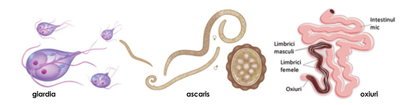 paraziti ne yok eder ouă diphildobothriasis în scaun