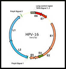 human papillomavirus infection women s health