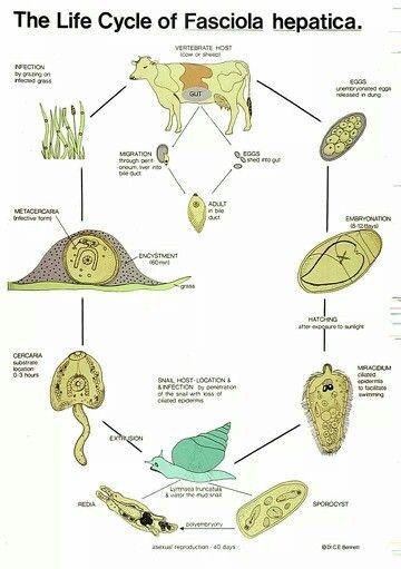 parazitoza hepatica